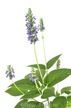 Chia Salvia Hispanica 1g av 800 seeds