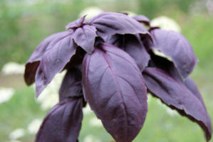 Basil Red Shiraz 300 seeds