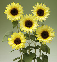 Helianthus. Sunflower Sunrich Limoncello Summer 10 seeds