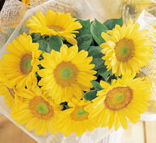 Helianthus. Sunflower Sunrich Lime 10 seeds