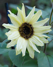 Helianthus. Sunflower Moonwalker 32 seeds