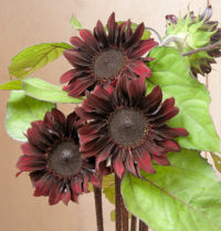 Helianthus. Sunflower Red Hedge 10 seeds