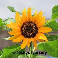 Helianthus. Sunflower Big Smile 15 seeds