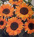 Helianthus. Sunflower Soraya 40 seeds