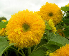 Helianthus. Sunflower Superted 15 seeds