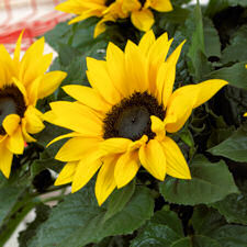 Helianthus. Sunflower Sunsation Yellow 10 seeds