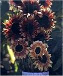 Helianthus. Sunflower Ruby Eclipse 25 seeds