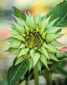 Helianthus. Sunflower Sun-Fill Green 10 seeds