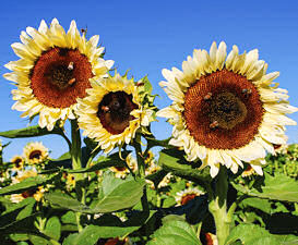 Helianthus. Sunflower ProCut White Nite  10 seeds