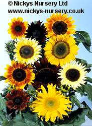 Helianthus. Sunflower Summer time Mixed 30 seeds
