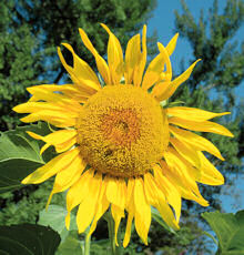 Helianthus. Sunflower Pikes Peak 25 seeds