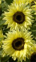 Helianthus. Sunflower Garden Statement 40 seeds