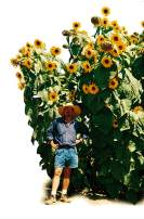 Helianthus. Sunflower Kong