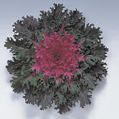 Ornamental Kale. Coral Queen 30 seeds