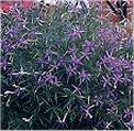 Laurentia. Blue Star 50 seeds