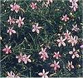 Laurentia. Pink Star 50 seeds