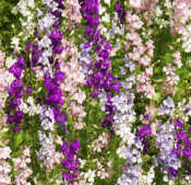 Larkspur. Giant Hyacinth Flowered Mixed 320 seeds