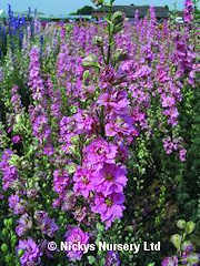 Larkspur. Sublime Bright Pink 320 seeds