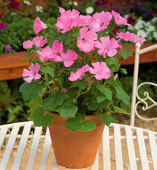Lavatera. Hot Pink  20 seeds
