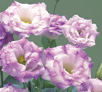 Lisianthus. Arena Blue Flash 30 pellets
