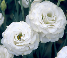 Lisianthus. Croma Silky White 30 pellets