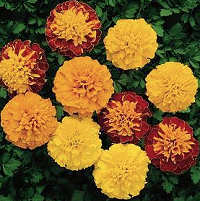 Marigold. Boy o Boy Series 80 seeds