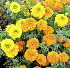 Marigold. Kushi mix NEW 20 seeds