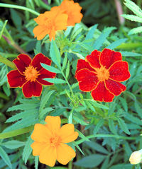 Marigold. Mexican Twist 50 seeds
