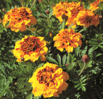Marigold. Goldiluxe 25 seeds