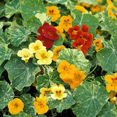 Nasturtium. Queen Mix 30 seeds