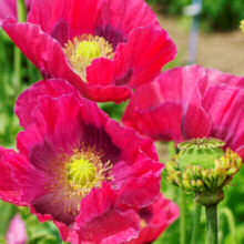 Papaver. Poppy somniferum Hens and Chickens 400 seeds