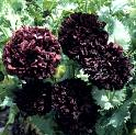 Papaver. Poppy Somniferum Black Peony 750 seeds