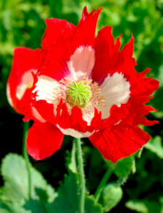 Papaver. Poppy Somniferum Victoria Cross 500 seeds