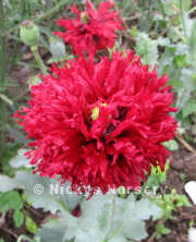 Papaver. Poppy Somniferum Fluffy Ruffles 1000 seeds