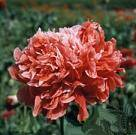Papaver. Poppy Somniferum Frosted Salmon 1000 seeds