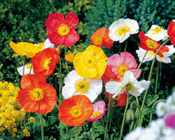 Papaver. Poppy Nudicaule Spring Fever Mixed 30 seeds