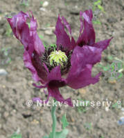 Papaver. Poppy Somniferum Pepperbox 600 seeds
