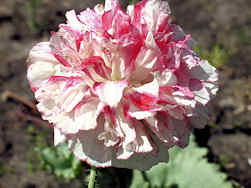 Papaver. Poppy Somniferum Berries & Cream 400 seeds