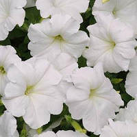 Petunia. Easy Wave White 10 pellets
