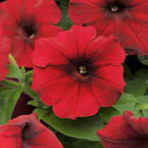 Petunia. Easy Wave Red Velour 10 pellets