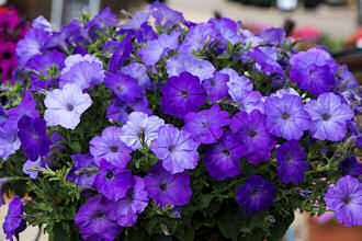 Petunia. Easy Wave Lavender Sky Blue 10 pellets