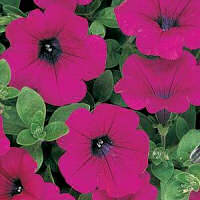 Petunia. Wave Purple 10 pellets