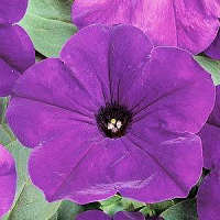 Petunia. Easy Wave Blue 10 pellets