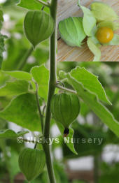 Physalis. Cape Gooseberry Golden Berry 100 seeds