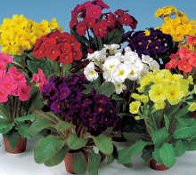 Polyanthus. Stella Mixed 20 seeds