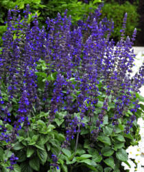 Salvia. Big Blue 10 seeds