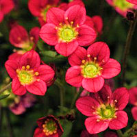 Saxifraga. Rocco Red 50 Pelleted seeds