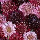 Scabiosa. Summer Fruits 40 seeds