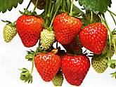 Strawberry. Elan 10 seeds