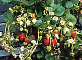 Strawberry. Roman 10 seeds